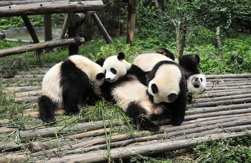 panda pic panda team tuff work fighting pandas