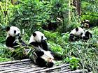 Giant Panda Breeding Base