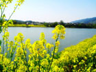 Rape flowers blooming on  river bank