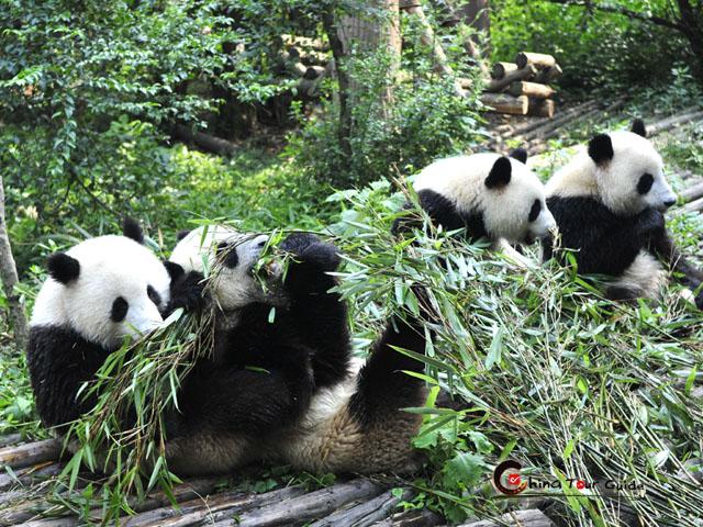 Panda volunteer tour volunteering at bifengxia