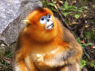 Beijing Zoo Golden Snub-nosed Monkey