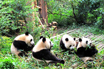 Panda Protection Project