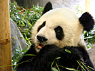 Panda in Shanghai Zoo