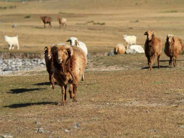 Sheeps near Sayram Lake